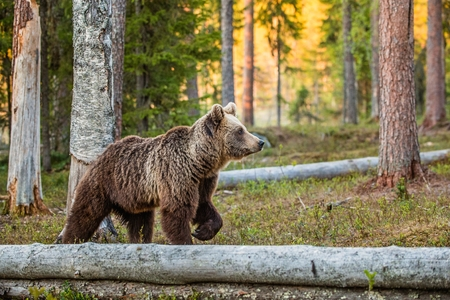 Foto de Wild adult Brown Bear (Ursus Arctos) in the summer forest. Green natural background - Imagen libre de derechos