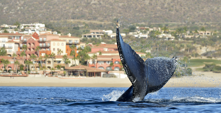 Tail of the mighty humpback whale (Megaptera novaeangliae).