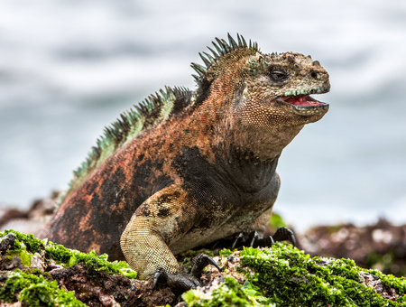 Photo pour A male of Galapagos Marine Iguana resting on lava rocks (Amblyrhynchus cristatus). The marine iguana on the black stiffened lava.  Galapagos Islands - image libre de droit
