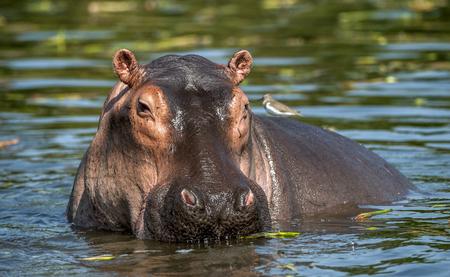 Photo pour Common hippopotamus in the water. The common hippopotamus (Hippopotamus amphibius), or hippo. Africa - image libre de droit