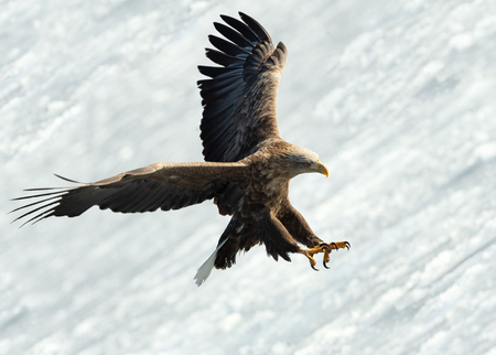 Adult White-tailed eagle landed. Ice natural background. Scientific name: Haliaeetus albicilla, also known as the ern, erne, gray eagle, Eurasian sea eagle and white-tailed sea-eagle.