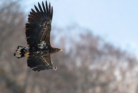 Juvenile White tailed eagle in flight. The slope of the mountain in the background. Scientific name: Haliaeetus albicilla, also known as the ern, erne, gray eagle, white-tailed sea eagle.