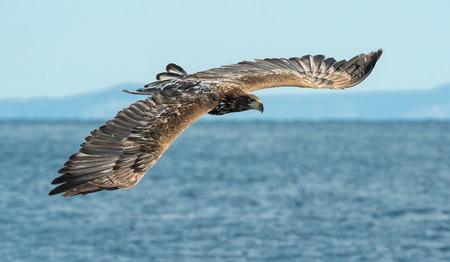 Juvenile White-tailed eagle fishing.   Scientific name: Haliaeetus albicilla, also known as the ern, erne, gray eagle, Eurasian sea eagle and white-tailed sea-eagle. Natural Habitat.