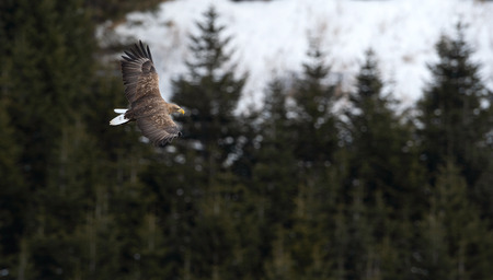 Adult White tailed eagle in flight. Mountain green forest background. Scientific name: Haliaeetus albicilla, also known as the ern, erne, gray eagle, Eurasian sea eagle and white-tailed sea-eagle.