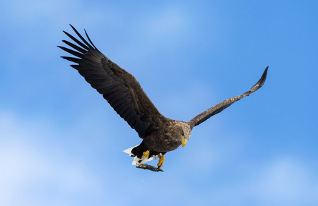 Adult White-tailed eagle with fish in flight. Blue sky background. Scientific name: Haliaeetus albicilla, the ern, erne, gray eagle, Eurasian sea eagle and white-tailed sea-eagle.