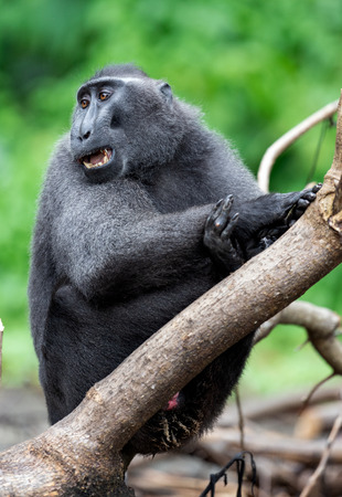 The Celebes crested macaque . Green natural background. Crested black macaque, Sulawesi crested macaque, celebes macaque or the black ape.  Natural habitat. Sulawesi. Indonesia.