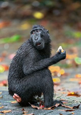 The Celebes crested macaque eating. Close up portrait. Crested black macaque, Sulawesi crested macaque, or the black ape.  Natural habitat. Sulawesi. Indonesia.