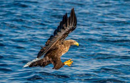 White-tailed eagle fishing. Blue Ocean Background. Scientific name: Haliaeetus albicilla, also known as the ern, erne, gray eagle, Eurasian sea eagle and white-tailed sea-eagle.