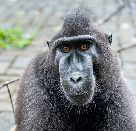 The Celebes crested macaque.    Crested black macaque, Sulawesi crested macaque, or the black ape. Natural habitat. Sulawesi. Indonesia.