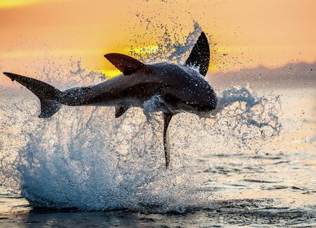 Photo pour jumping Great White Shark. Red sky of sunrise. Great White Shark breaching in attack. Scientific name: Carcharodon carcharias. South Africa. - image libre de droit