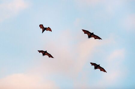 Foto de The small flying fox, island flying fox or variable flying fox (Pteropus hypomelanus), fruit bat . Fox bat flying in the sunset  sky. Bats Leave Kalong Island for mainland every night in migration - Imagen libre de derechos
