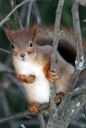 A confused red squirrel in a tree
