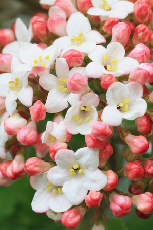 fragrant snowball blossom, viburnum farreri
