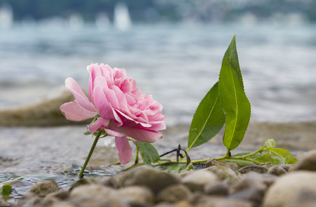one fresh rose at the lake shore, beach with pebble stones