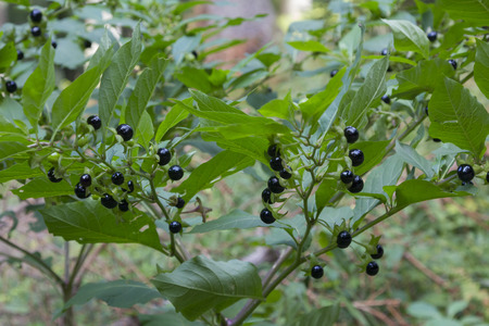 deadly nightshade bush with toxic berries, homeopathic medical plant