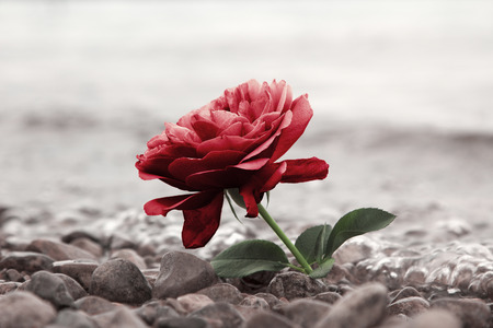 one red rose flower at the stony beach, soft water background