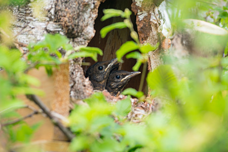 Photo for closeup shot of young blackbird nestlings in a birdhouse, selective focus - Royalty Free Image