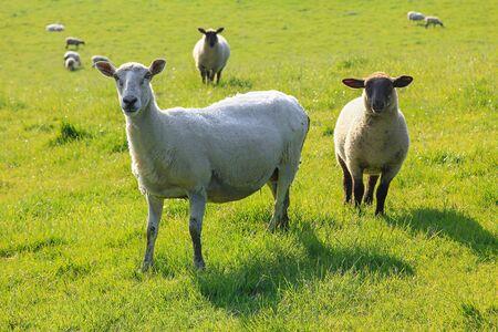 Foto de two nosy sheep on a green pasture, south england - Imagen libre de derechos