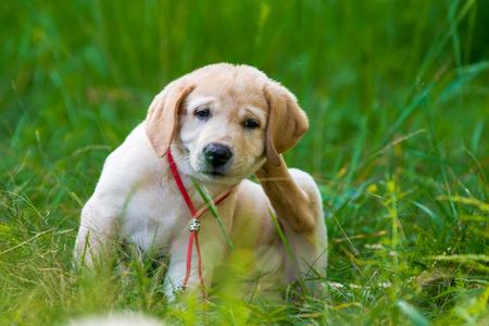 Photo pour Puppy Retriever Scratching fleas in the park - image libre de droit