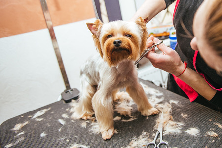 Photo for Grooming Yorkshire Terrier professional hairdresser. Hairdresser mows Yorkshire Terrier fur on the ear with a trimmer - Royalty Free Image
