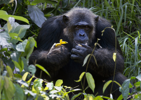 Chimpanzee looking at something with extreme attention and eating banana