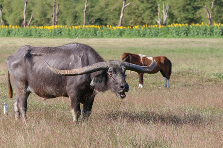 Buffalo is a animal that feeds on long, spiky, and spiked cats. Grass is a food to live in a rural outdoor field. he is very long.