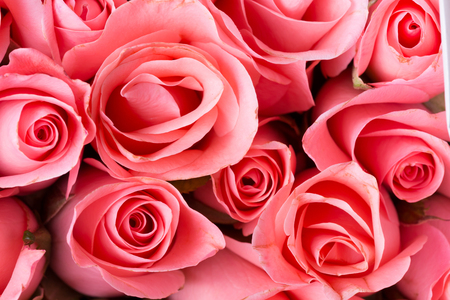 Photo for beautiful pink rose background - Royalty Free Image