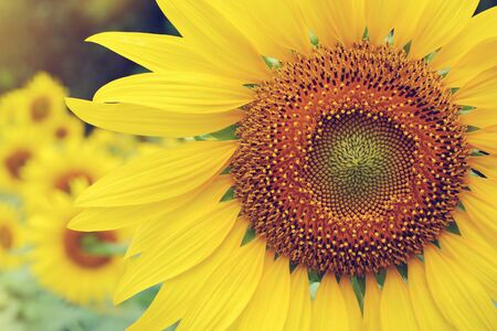 beautiful spring flower, sunflower blossom blooming in summer garden natural with sunlight in the morning day