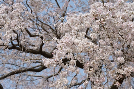 The tree of weeping cherry in full bloom