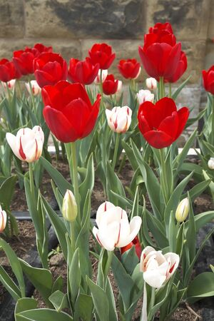 Tulip in Downtown Ottawa Ontario on May 21, 2016.