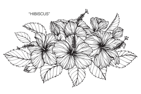 Illustration for Hibiscus flower. Drawing and sketch with black and white line-art. - Royalty Free Image