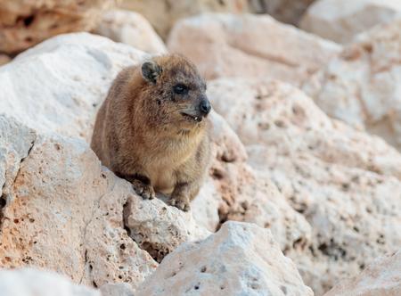 mountain rabbit sitting between rocks on the morning in Rosh Hanikra, Israel