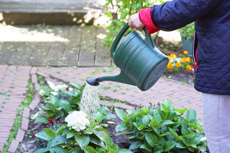 Photo pour Hand of senior woman is watering flowers in her garden, gardening at home. Retired female cares of plants. Senior woman hands watering some flowers at her garden. - image libre de droit