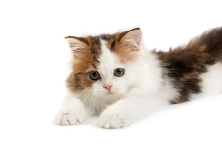 Kitten Scottish  straight on a white background