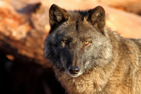 Lonely gray wolf in beams of the coming sun