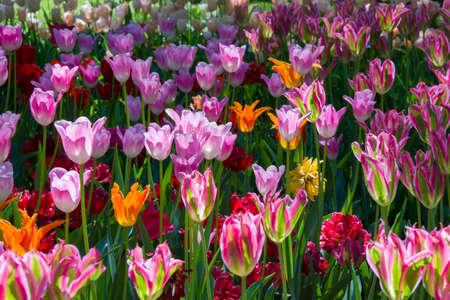 Photo for Many bright multi-colored tulips - Royalty Free Image