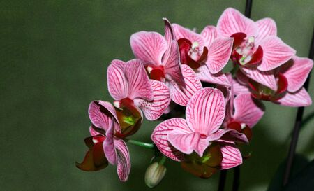 Pink-red burgundy mini phalaenopsis orchids with flowers and buds on a dark background. Selective, soft focus. Place for text.