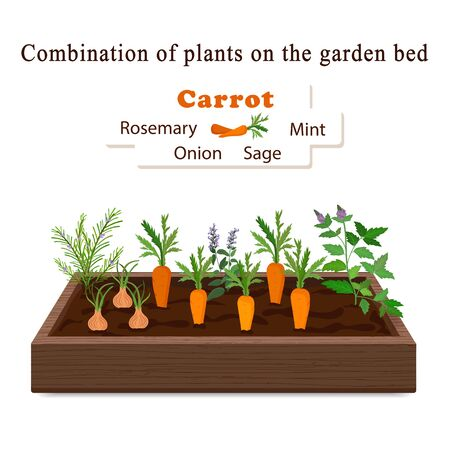Illustration for Growing vegetables and plants on one bed. Carrots, Rosemary, Sage, Mint, Onion Vector - Royalty Free Image
