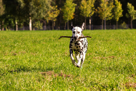Young dalmatian running with stick at its mouth and looking at camera
