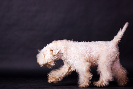 One irish soft coated wheaten terrier running and looking forward on black background at studio