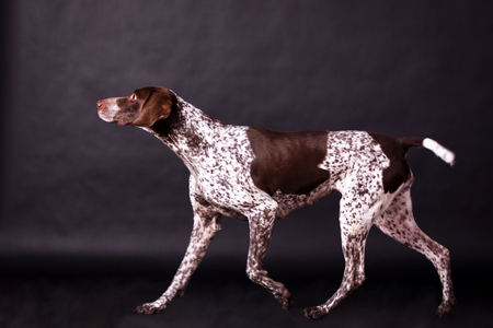 Young german shorthaired pointer (kurzhaar) looking forward on black background at studio