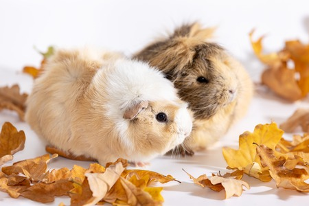 Adorable guinea pigs females isolated on white backgroundの写真素材