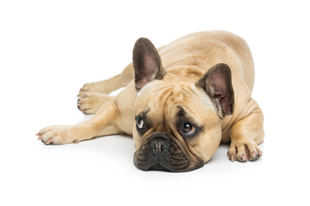 Portrait of beautiful young French buldog girl dog lying. Isolated over white background. Studio shot. Copy space.