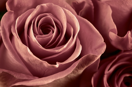 Bunch of marsala colored rose flowers close-up as background. Soft focus, shallow DOF. Filtered image.