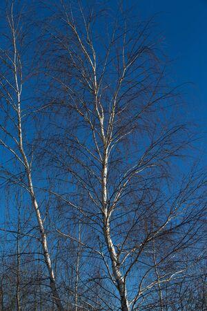 birch trees in blue