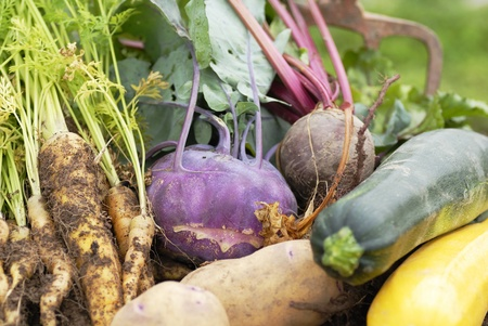 Photo pour Collection of freshly harvested vegetables from an allotment. Kohl Rabbi, beetroot, yellow carrots, yellow and green courgette,and Kestrel potatoes. - image libre de droit