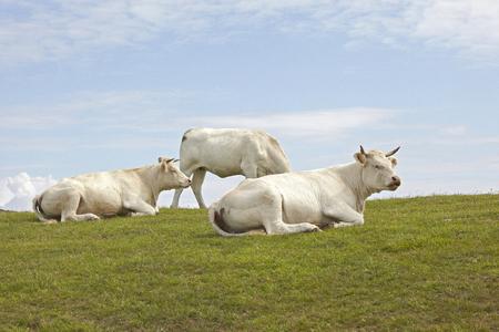 white cows Nez de Jobourg France