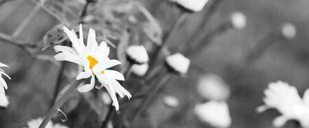 Macro Shot of white daisy flowers isolated on gray background.