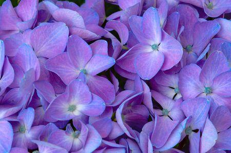 Foto für Macro image of blue Hydrangea flower. - Lizenzfreies Bild