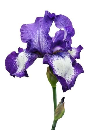 violet iris flower isolated on white background